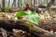 Trille rouge, qui fait partie de la flore du Québec.