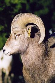 Un jeune b&eacute;lier&nbsp;: ses cornes n'ont pas encore la longueur permise pour la chasse.<br>