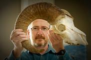 «La taille des cornes des béliers récoltés a diminué», signale Marco Festa-Bianchet, qui étudie l'ongulé depuis plus de 30ans.