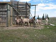 La &laquo;trappe&raquo; de Ram Mountain, en Alberta; c'est le camp de recherche o&ugrave; sont effectu&eacute;es, notamment, les op&eacute;rations de recensement.<br>