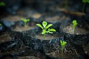 Le <em>Moringa oleifera</em>, appel&eacute; le benzolive en Ha&iuml;ti, est un arbre connu pour ses grandes qualit&eacute;s nutritives. Il est particuli&egrave;rement<span>&nbsp;adapt&eacute; aux r&eacute;gions s&egrave;ches, car il peut &ecirc;tre cultiv&eacute; &agrave; l'aide d'eau de pluie sans techniques d'irrigation co&ucirc;teuses.</span>