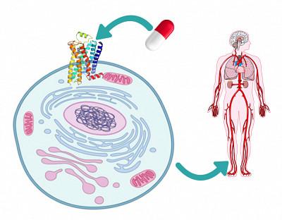 Les RCPG sont la cible d'environ 40% des médicaments pour des maladies variées (cardiovasculaire, gastro-intestinale, psychiatrie, etc.)