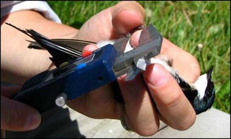 Prise de mesure sur l'hirondelle bicolore.
