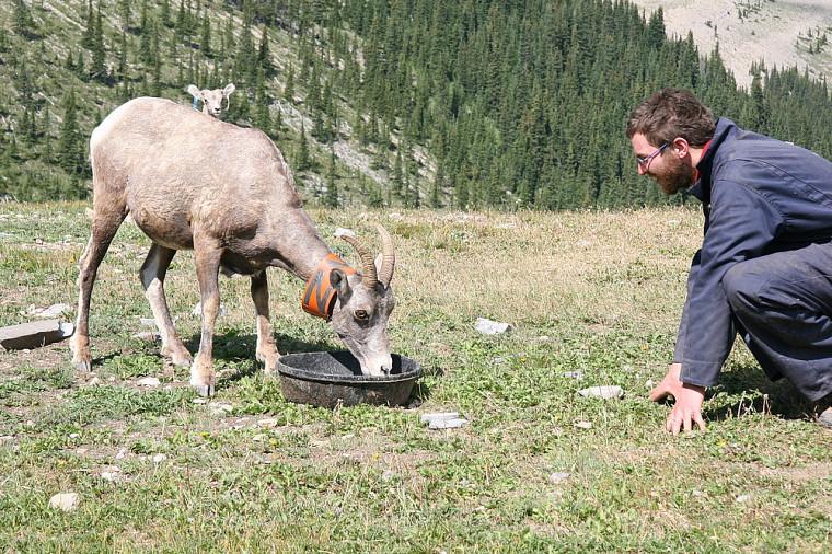Julien G.A. Martin face à une femelle de 6ans. On aperçoit au niveau de son dos la tête de son agneau mâle de 2mois.