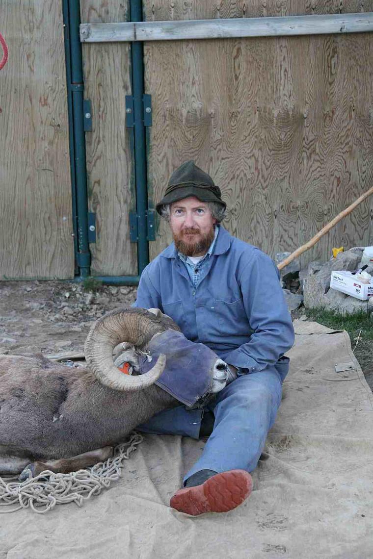 Le professeur Marco Festa-Bianchet avec un mâle de 9ans en juin 2007 (le masque permet de calmer le mouflon durant les mesures). Le mouflon a été tué le dernier jour de la saison de chasse en 2007 parce que ses cornes étaient «full curl».