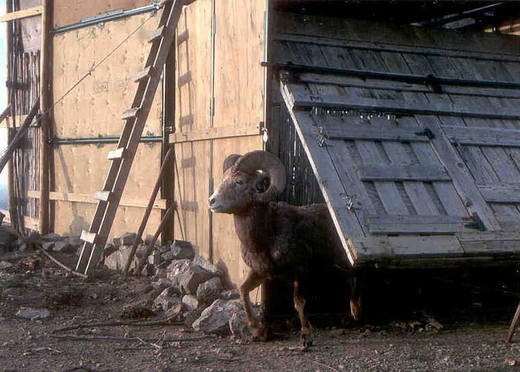 Mâle âgé de 11ans, lors de sa dernière visite à la trappe de Ram Mountain en 1999, deux mois avant d'être tué illégalement.