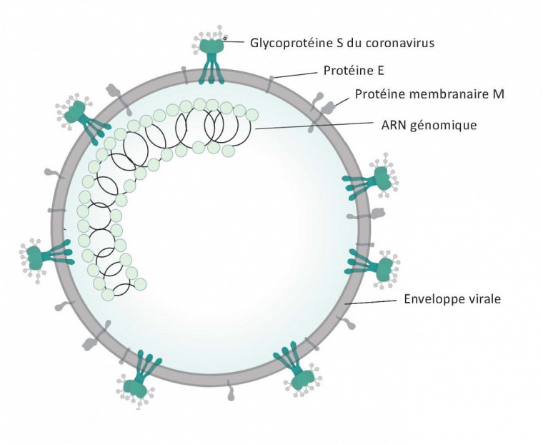Source de l'image : https://commons.wikimedia.org/wiki/File:Coronavirus_virion_structure.svg Traduction : Pr Francis Beaudry
