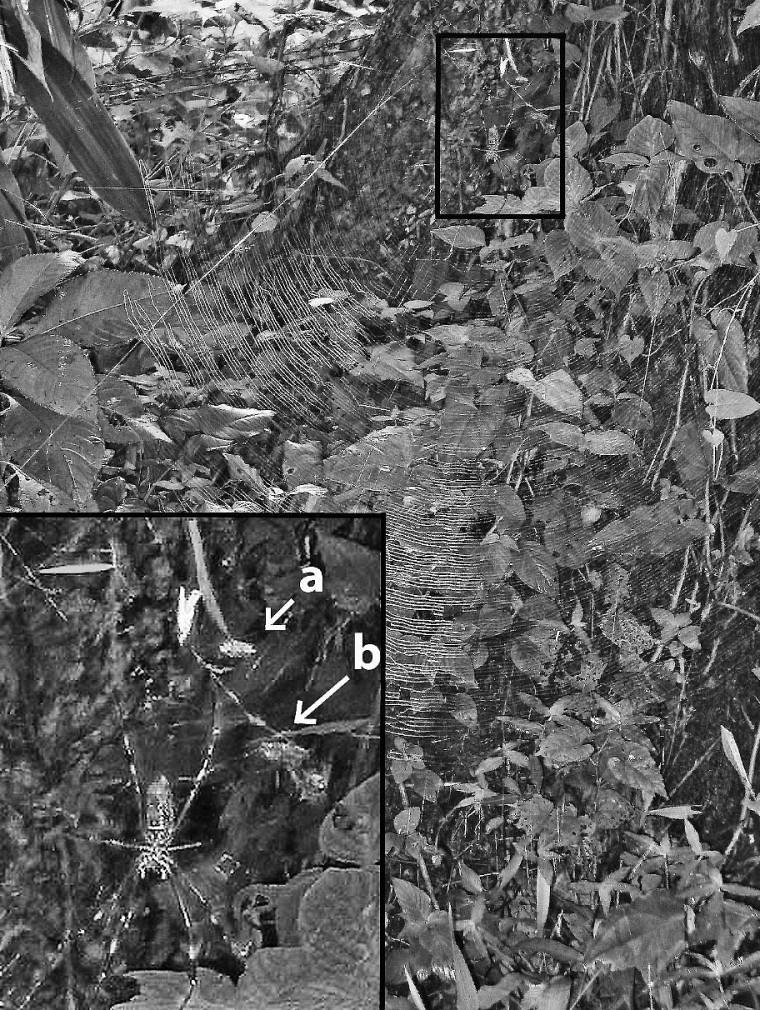 Toile d'une néphile clavipes avec plan rapproché sur les décorations pour attirer les insectes sarcophages.