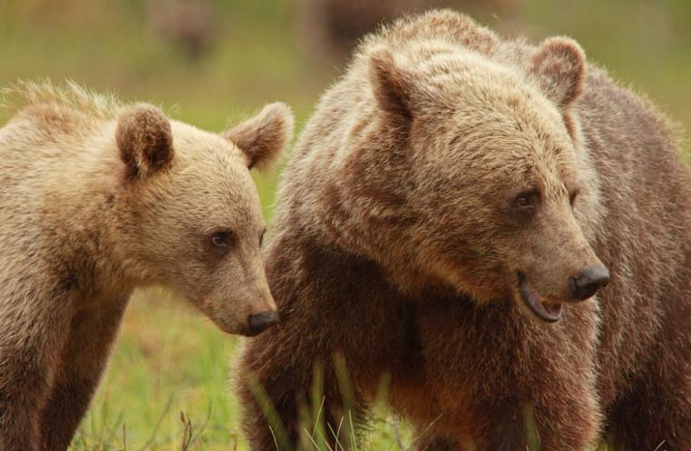 Jeune ours brun et sa mère