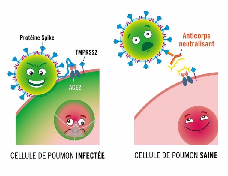 Illustration de l'effet d'une molécule de type anticorps sur la cellule pulmonaire