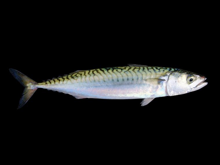 Le maquereau est l'un des poissons les plus riches en oméga-3. Une portion de 100g fournit plus de deux fois la recommandation journalière.