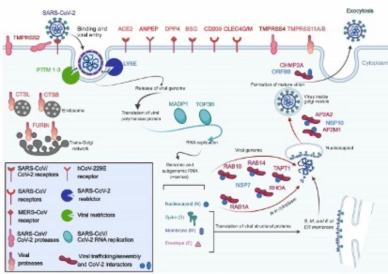 Schéma démontrant l'entrée de la COVID-19 dans la cellule humaine