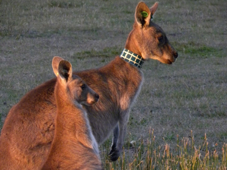 Mère kangourou et sa fille, âgéede 13 mois. Elles ont passé plus de 90% de leur temps ensemble lorsque la jeune avaient entre10 à 21 mois. Elle a été sevrée à l'age de 18 mois et asurvécu au moins jusqu'à l'âge de 7 ans.