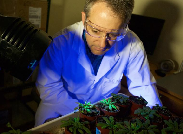 Pour mener ses travaux, le Pr Moffett utilise un organisme végétal modèle, nommé l'Arabidopsis thaliana, la souris blanche du monde végétal!