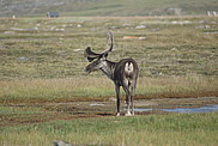 Un caribou du troupeau de la rivière aux feuilles à la Baie Déception dans la région du Nunavik au nord du Québec.