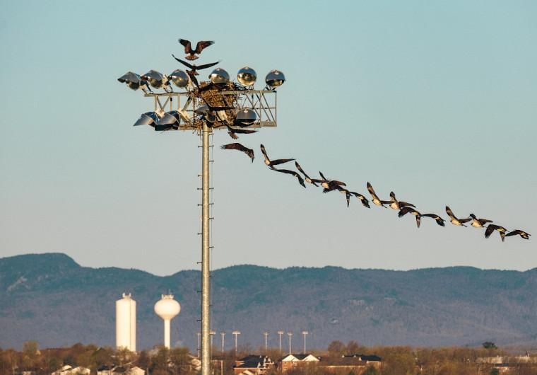 Photomontage illustrant des balbuzards en plein vol, qui ont fait leur nid au Campus principal au printemps dernier.