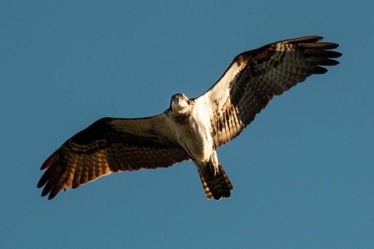 Le balbuzard, ce grand oiseau de proie au plumage sombre et au ventre blanc.
