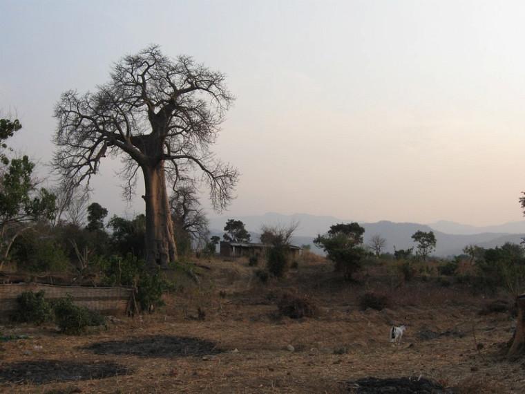 Un baobab à Golomoti.