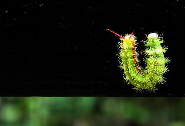 Changement d'orientation. Chenille d'Automeris sp. dont le stade adulte est un papillon de nuit reconnaissable à ses ocelles sur ses ailes postérieures. Comme tous ceux de la famille des Saturnidae, ce papillon ne vit qu'une dizaine de jours au stade adulte.