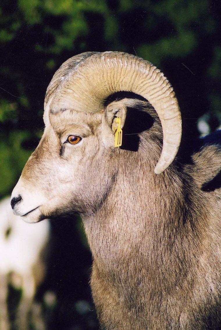 Un jeune bélier: ses cornes n'ont pas encore la longueur permise pour la chasse.