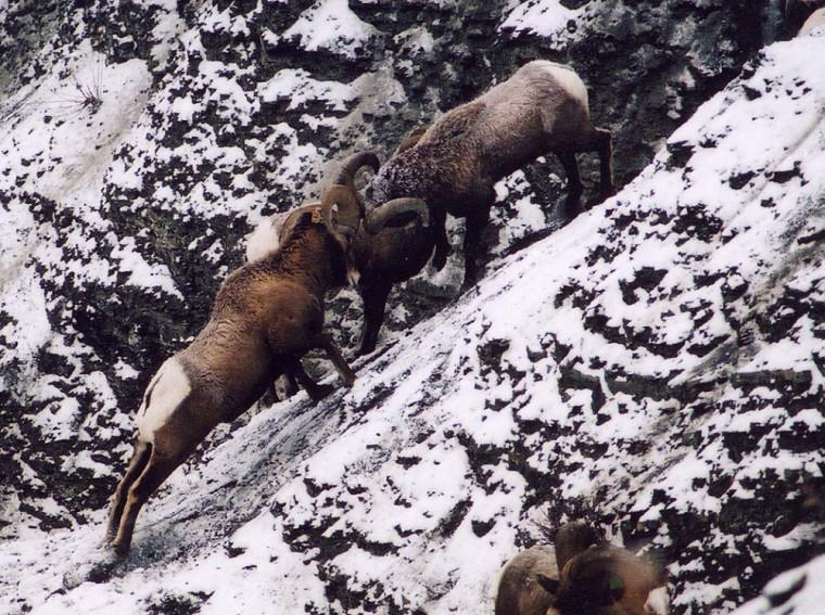 Les combats de cornes sont fréquents avant la période de rut; le bélier dominant aura accès aux brebis pour l'accouplement.