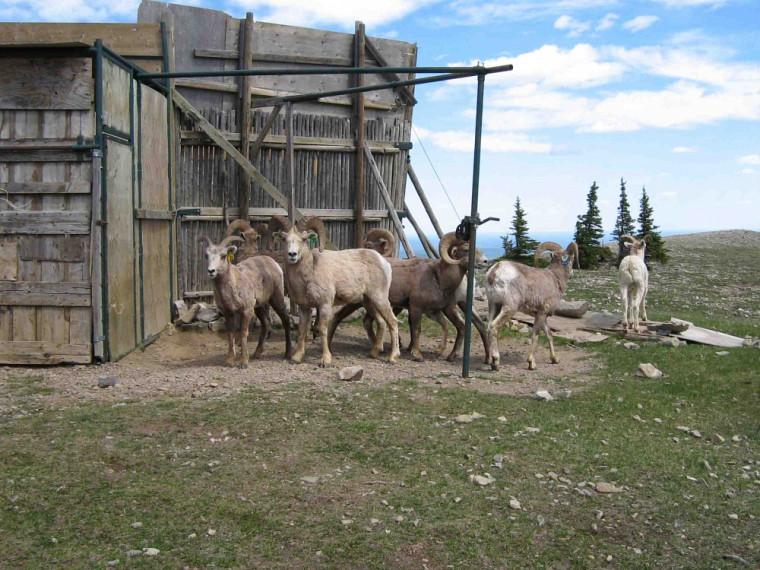 La «trappe» de Ram Mountain, en Alberta; c'est le camp de recherche où sont effectuées, notamment, les opérations de recensement.