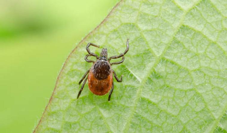 La maladie de Lyme survient après une piqûre de la tique Ixodes scapularis, elle-même infectée par la bactérie Borrelia burgdorferi.