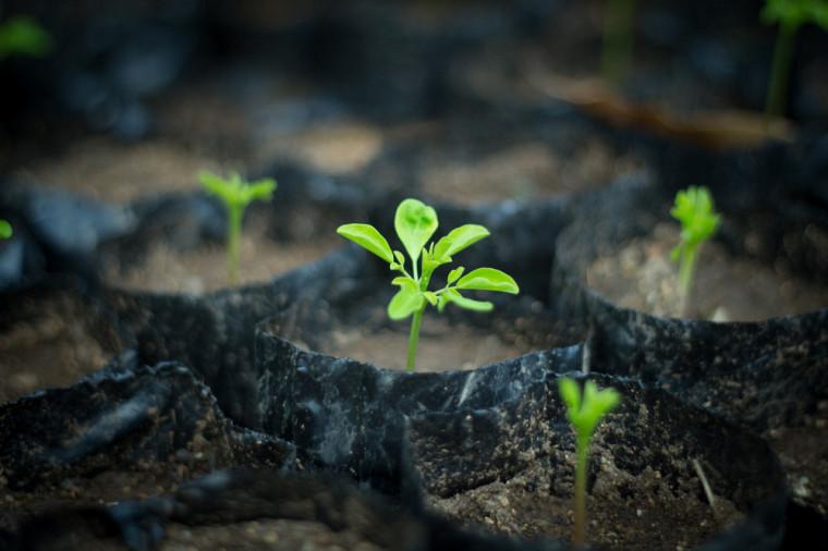 Le Moringa oleifera, appelé le benzolive en Haïti, est un arbre connu pour ses grandes qualités nutritives. Il est particulièrementadapté aux régions sèches, car il peut être cultivé à l'aide d'eau de pluie sans techniques d'irrigation coûteuses.