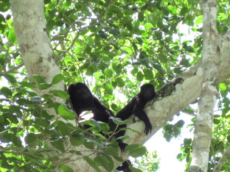 Les singes hurleurs noirs évoluent au sommet d'arbres d'une trentaine de mètres de hauteur.
