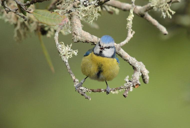 Mésange bleue, mâle.