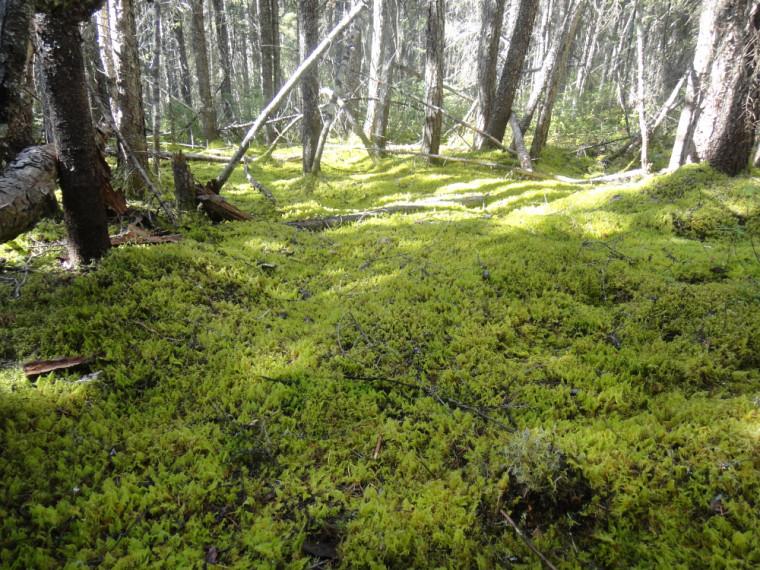 Forêt boréale québécoise.