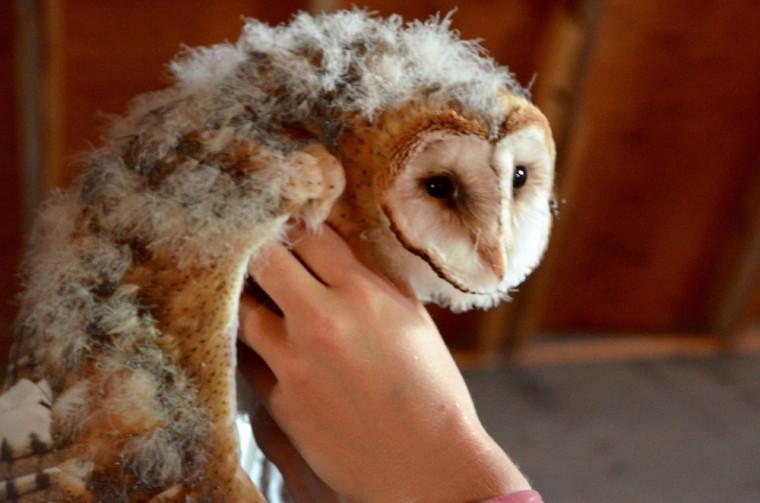 Une chouette-effraie (Barn Owl), une espèce en péril qui vit sur la ferme.