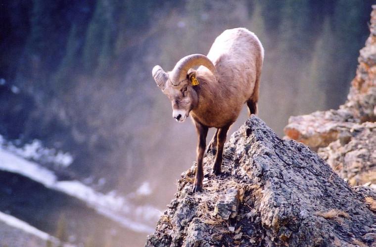 Mouflon mâle sur la pointe d'un rocher.
