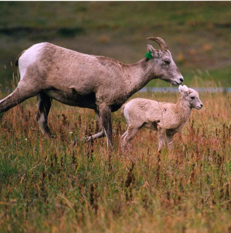 Une femelle avec son agneau.