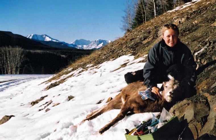 Fanie Pelletier à Ram Mountain. Capture d'un mouflon à la station de recherche.