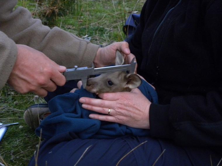 Mesures d'un bébé kangourou