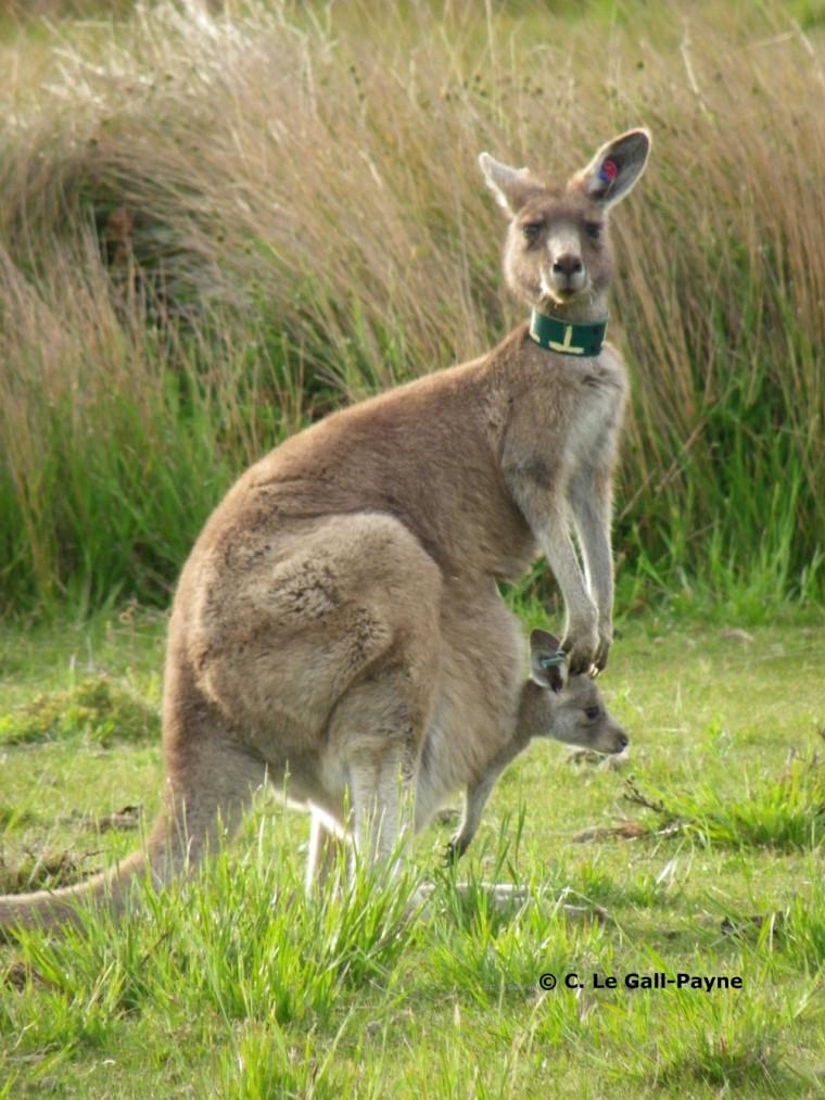 Mère kangourou avec un petit adopté.