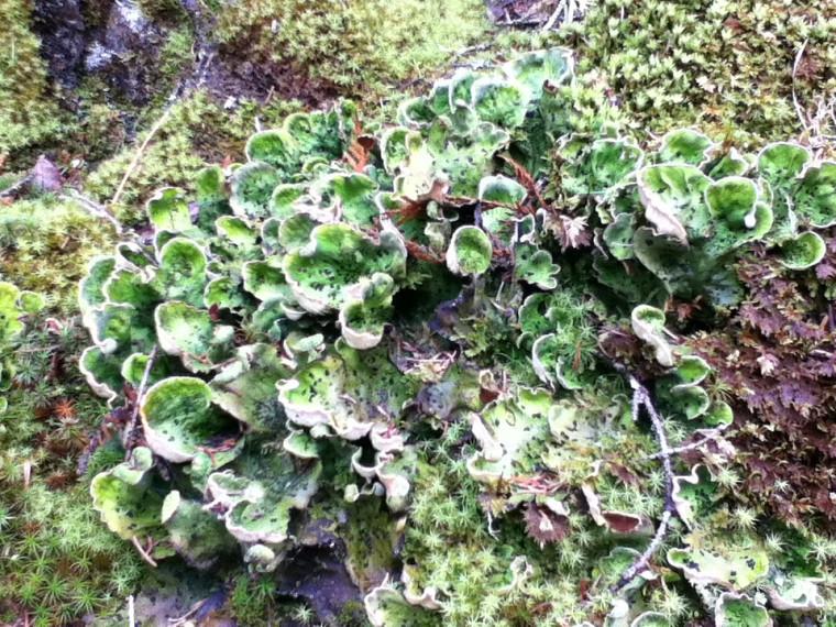 Lichens prélevés dans le Nord québécois.