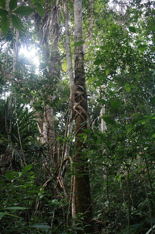 Figuier étrangleur dans la jungle mexicaine