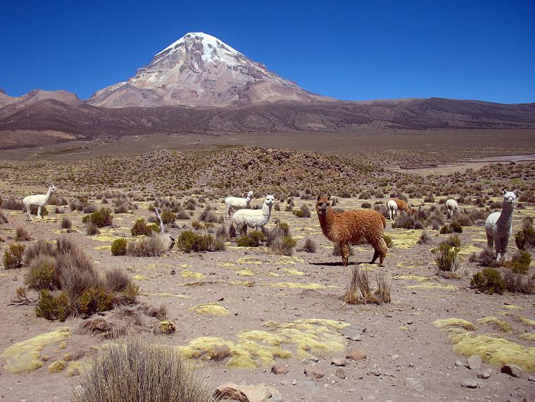 Des alpacas au pied du Nevado Sajama (6542 m)