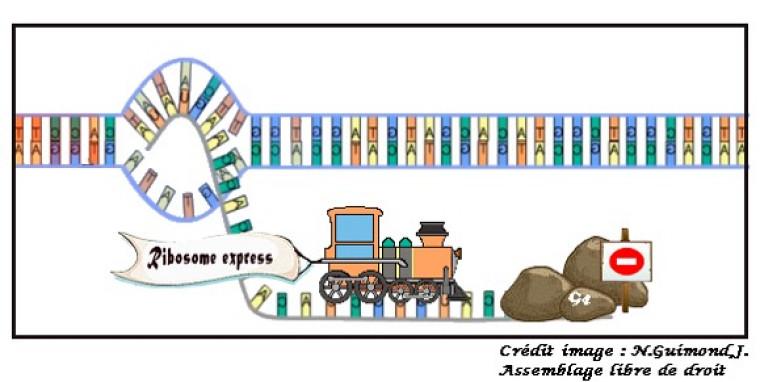 Les G4 se forment lorsque quatre séries de guanines, un des quatre nucléotides composant l'ARN.