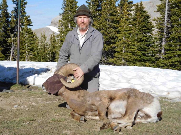 Le Pr Marco Festa-Bianchet, lors d'une étude de terrain en Alberta en juin 2016. Ce mouflon est masqué pour le garder calme. Après les mesures, il sera simplement relâché.
