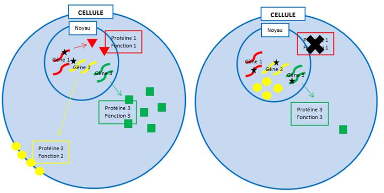 Schéma 1.Du gène à la protéine (cellule de gauche) et différents types de «mutations» (*) sur les gènes 1, 2 et 3 (cellule de droite).